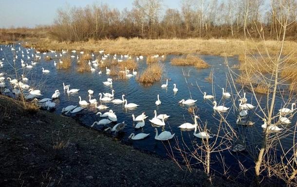 Лебеди на Буковине погибли от птичьего гриппа