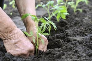 Когда высаживать рассаду в открытый грунт. Таблица