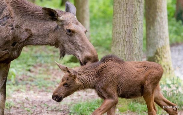 Минэкологии инициирует внесение лося в Красную книгу