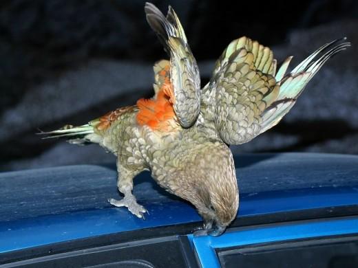 В Новой Зеландии попугай ограбил туриста