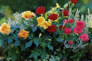 Лучшие сорта роз для сада