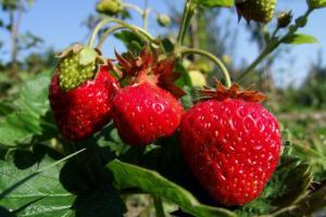 Выращивание садовой клубники: основные требования