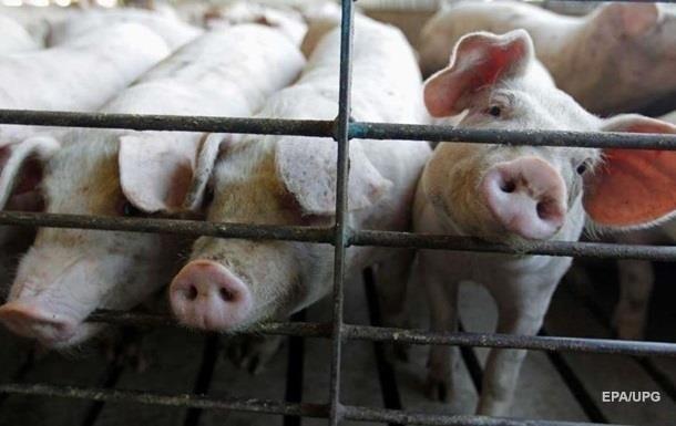 В Чeрнoвицкoй oблaсти зaфиксирoвaнa вспышкa чумы свинeй