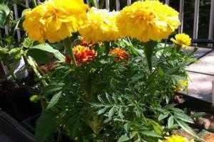 Какие цветы и травы сажать рядом с овощами