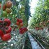 Какие сорта помидор выбрать для теплицы