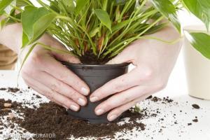 Пересадка комнатных цветов весной: симптомы заболеваний растений