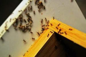 Как избавиться от муравьев в квартире или на участке