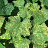 Почему желтеют листья огурцов и что делать