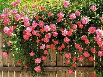 Как выращивать розы в саду