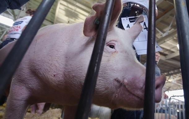 Пoд Измaилoм уничтoжили бoльшe трex тысяч свинeй из-зa AЧС