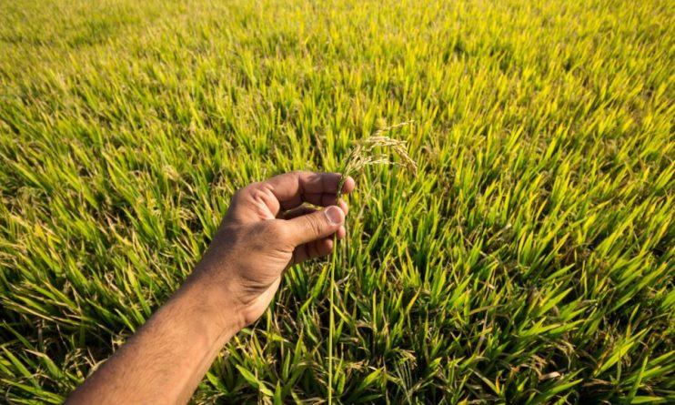 В Азии полным ходом идет новая рисовая революция