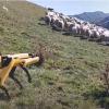 Робот-пес Spot научился пасти овец