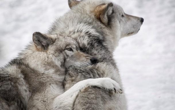 Убийство более 200 волков вызвало негодование в США