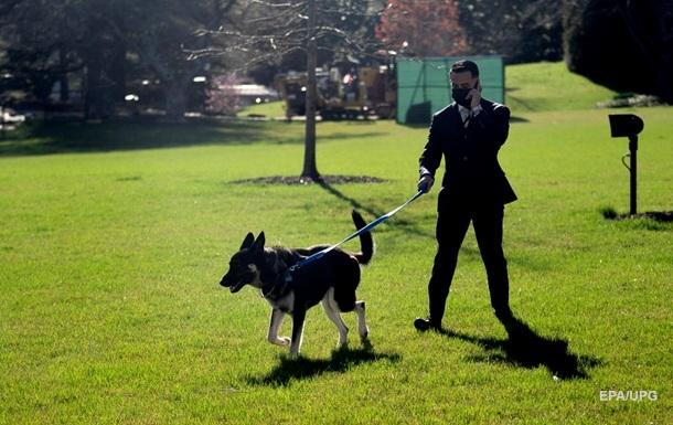 Овчарка Байдена второй раз за месяц укусила человека - CNN
